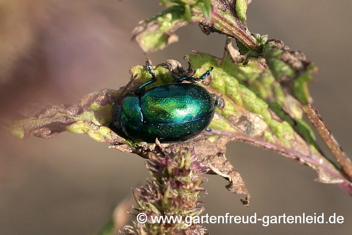 Minze-Blattkäfer (Chrysolina herbacea)