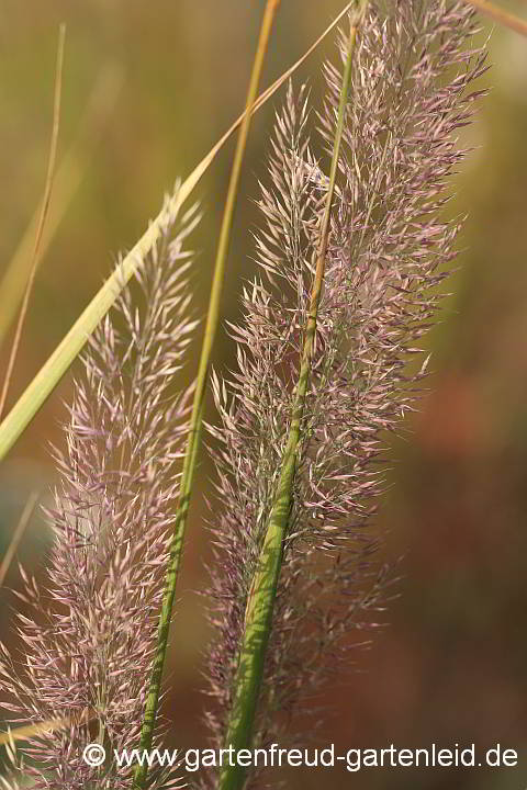 Melica ciliata niedriges Ziergras   dekorative Blütenrispe Wimpern-Perlgras