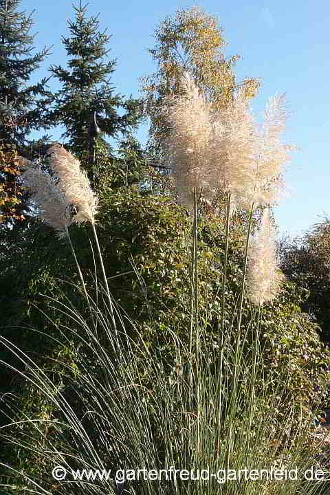 Pampasgras Cortaderia selloana Pumilla 20-40cm Sommer und Herbstblüher