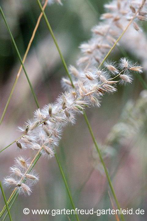 Wimpern-Perlgras niedriges Ziergras   dekorative Blütenrispe Melica ciliata