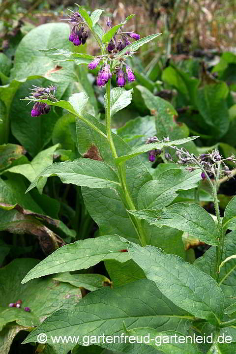 Symphytum officinale – Beinwell