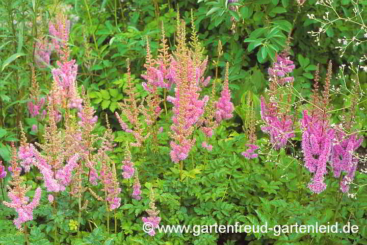 Astilbe chinensis – Prachtspiere, China-Astilbe