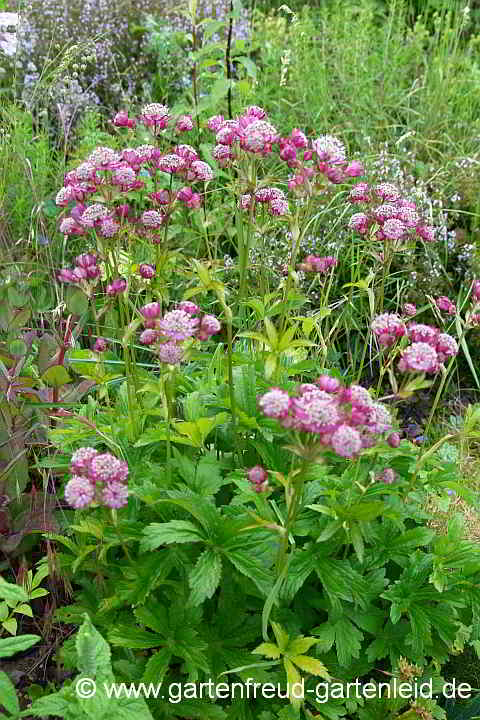 Astrantia major 'Ruby Cloud' – Große Sterndolde