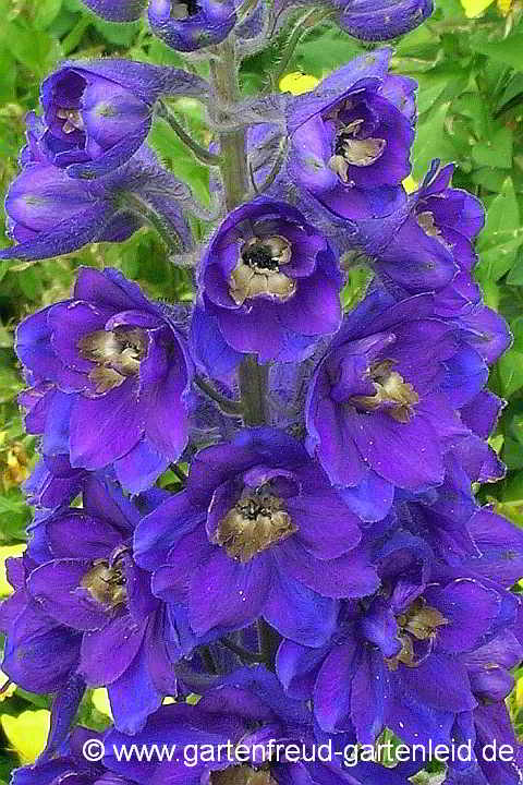 Delphinium Pacific-Gruppe 'Black Knight' – Pacific-Rittersporn