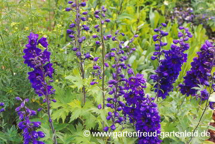 Delphinium-Pacific-Gruppe `Black Knight´ – Pacific-Rittersporn