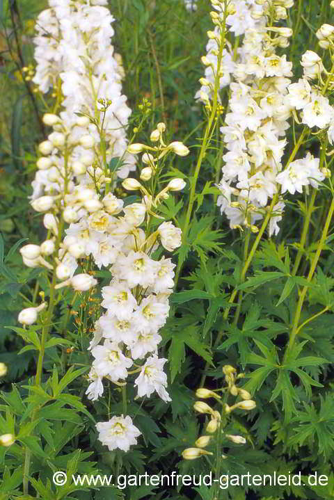 Delphinium Pacific-Gruppe 'Galahad' – Pacific-Rittersporn