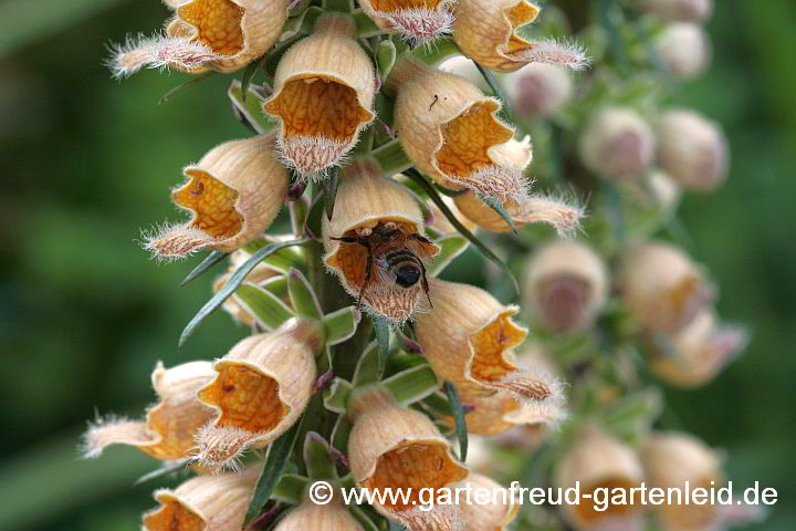 Digitalis ferruginea – Rostiger Fingerhut