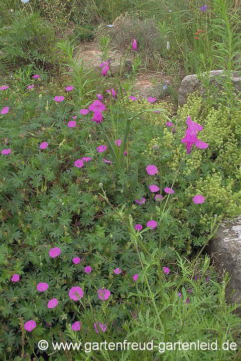 Geranium Storchschnabel Gärtnern Mit Stauden