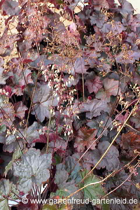 Heuchera americana 'Palace Purple' – Hohes Purpurglöckchen