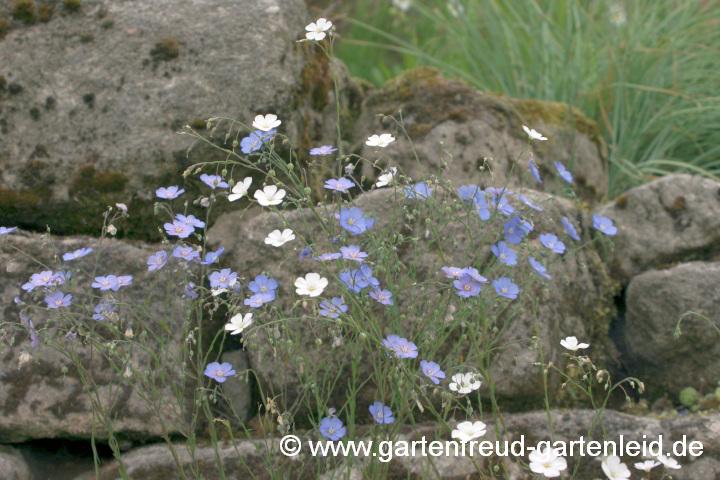 blaue margerite pflege