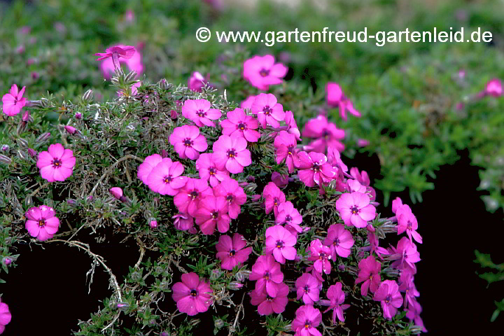 Phlox douglasii 'Red Admiral' – Polster-Phlox