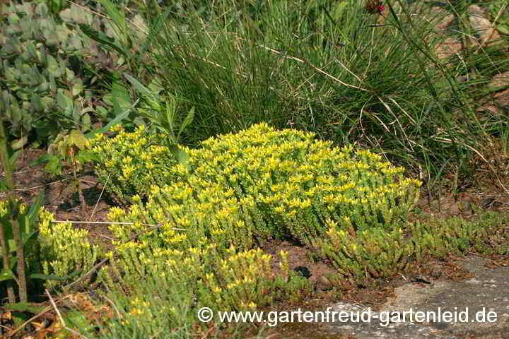 Mauerpfeffer Essbar sedum fetthenne fettblatt gärtnern mit stauden