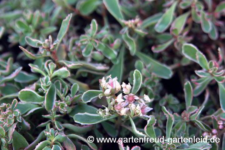 Sedum – Fetthenne — Gartenfreud – Gartenleid